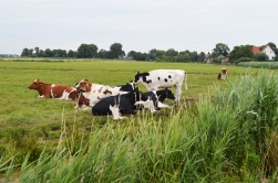 ..and cows